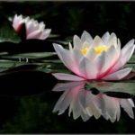 Mandalas Flor de Loto: Significados de los colores